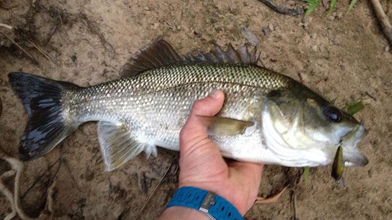 Australian Bass caught from Eudlo Creek, Great bass fishing on the Sunshine Coast