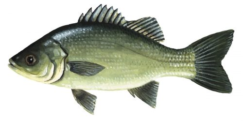 Australian Bass can grow up to 65cm and 3kg