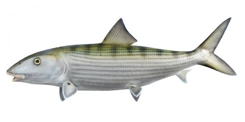 Bonefish can grow up to 90cm and 8.6kg in weight.
