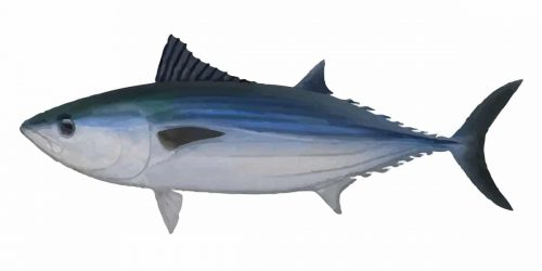 Australian Bonito can grow up to 1m and 9.4 kg in weight