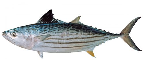 Leaping Bonito can grow over 70 cm in length and around 5 kg in weight