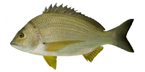 Yellowfin Bream can grow to 65 cm in length and about 4 kg in weight!