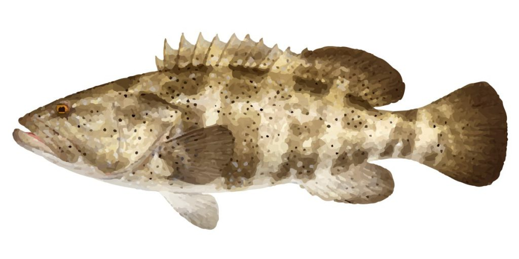 The black spotted rockcod is mostly known as a estuary cod for Rock cod fish