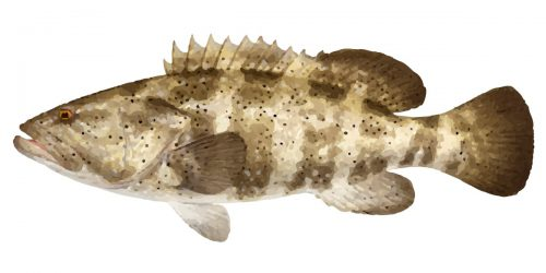 The Black Spotted Cod can grow to 140cm in length and 32kg in weight.