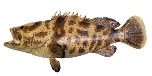 The Gold Spotted Cod can grow to 140cm in length and 32kg in weight.