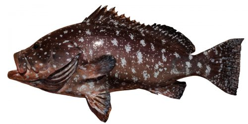 Rankin Cod can then grow up to 100cm and weigh as much as 20kg