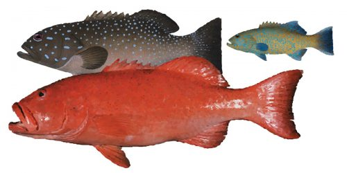 Coral Trout can grow to over 100cm, but generally only reach 75cm and weigh in at 6 to 8kg.