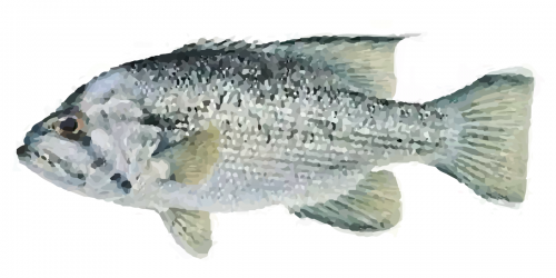 The West Australian Dhufish can grow to more than 1m in length and weigh more than 25 kg