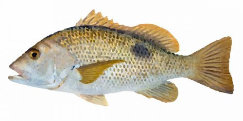 Golden Snapper can grow up to 70cm and weigh up to 8kg