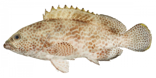Flowery Rockcod can grow up to 120cm in length!