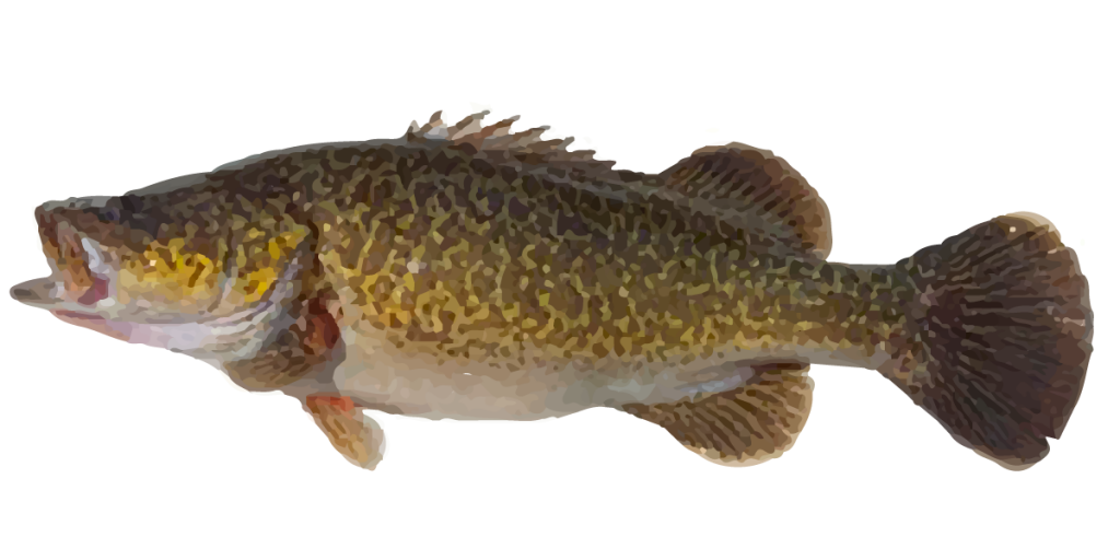 Mary river cod where to catch mary river cod fishing spots for Where to fish