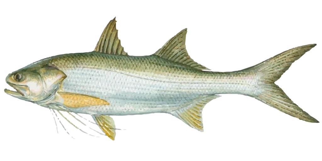 how to cook threadfin salmon