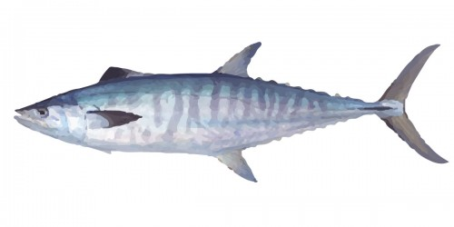 Broadbar Mackerel