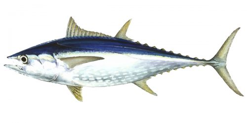 Longtail Tuna Fish