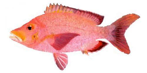 Paddletail Fish