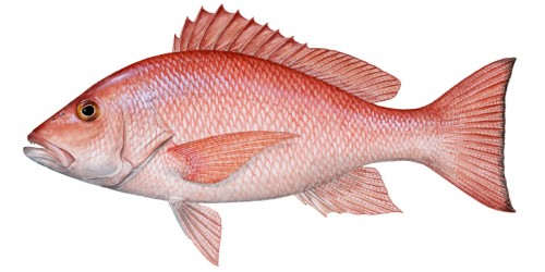 Red Bass Fish