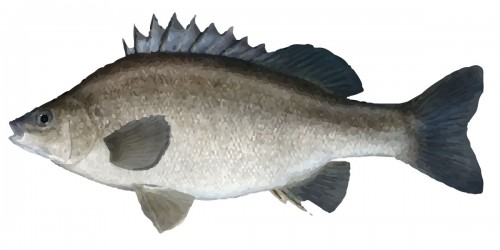 Silver Perch Fish Freshwater
