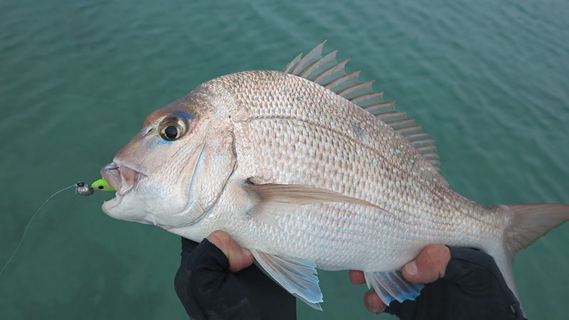 Typical small Pink Snapper from the rock ledge near Goulet Bluff