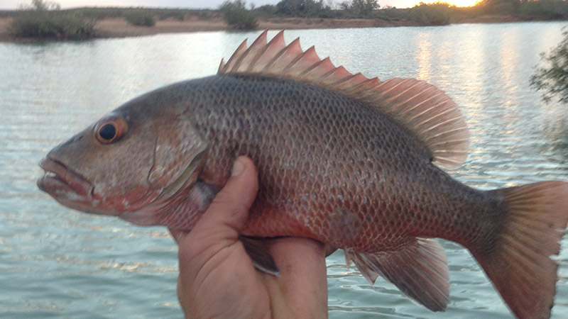 Small Mangrove Jack from the main creek camp on the western side of Ex Giralia